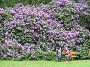 The biggest rhododendron bushes I've ever seen - in Netherlands with my friend Aideen.