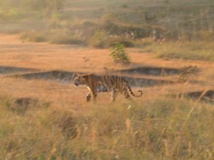 Wild tiger in Kanha National Park (inspiration for the Jungle Book) - my favorite wildlife experience